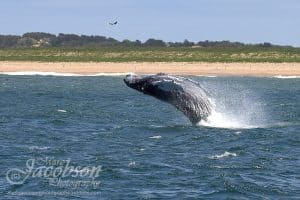 Picture of a humpback whale breaching out of the water.