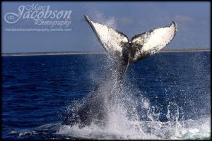 Picture of a whale tail coming out of the water.