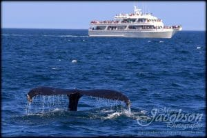 Picture of a whale tail coming out of the water with a whale watching boat behind it.